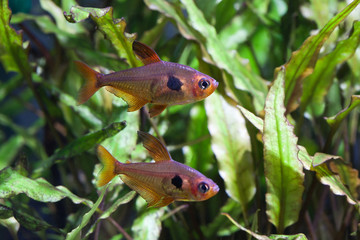 Aquarium fish. Rosy Tetra. Nature tank.