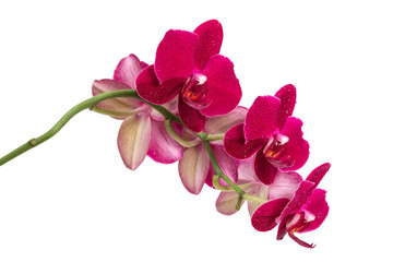 Orchid flower red color