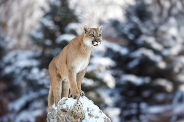 Deurstickers Puma Portrait of a cougar, mountain lion, puma, panther, pose of the hunter