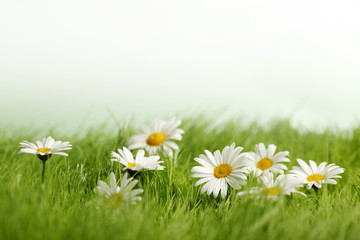 Spring meadow with daisies