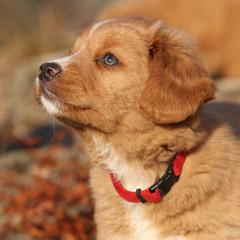 Potrait of beautiful puppy of Nova Scotia in nature