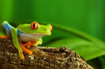 Fototapeten Frosch Red eyed tree frog