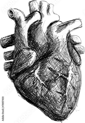 """hand drawn realistic human heart sketch black and white"""" stock, Muscles"""