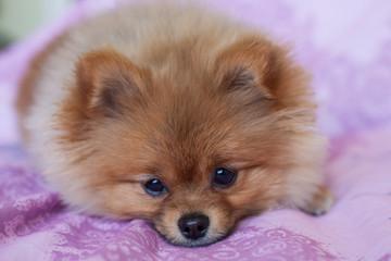 Fototapete - Cute Pomeranian puppy on a pink background