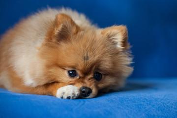 Fototapete - Cute Pomeranian puppy on a blue background
