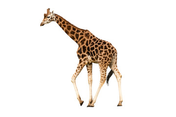 Walking giraffe.