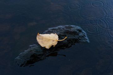 autumn leaf on a stone in the stream