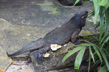 Varanus in the wild jungle