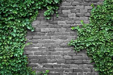 Obraz Old brick wall covered in ivy - fototapety do salonu