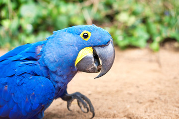Big blue parrot - Hyacinth macaw in Prague zoo. (Anodorhynchus h
