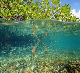 Mangrove ecosystem over and under the sea