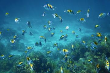 School of sergeant major fish in the Caribbean sea