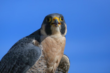 Fototapete - Peregrine falcon sitting on a stick