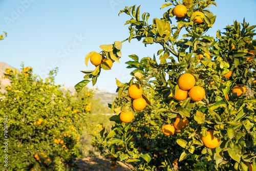 Piantagione di arance a Venezia acquistare