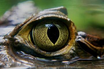 Fotobehang Krokodil Kaiman Auge