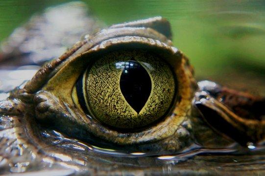 Kaiman Auge