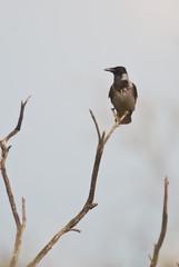 cornacchia grigia (Corvus cornix) su ramo