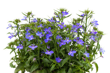 A sprig of blue lobelia on a white background.
