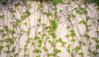 Vines on a Stucco Building Wall Background