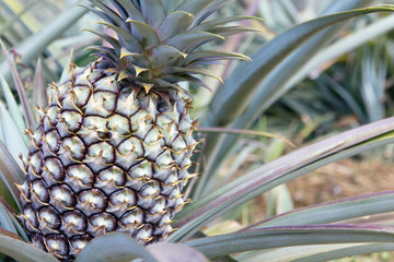 Fresh Pineapple in farm.