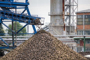 Big pile of sugar beet in sugar factory under the conveyor belt