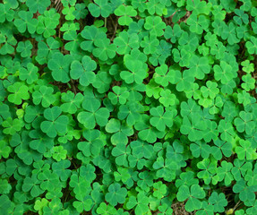 St.Patrick's day holiday symbol.  three-leaved shamrocks.