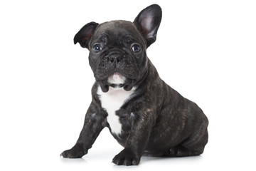 One month old puppy of French bulldog breed