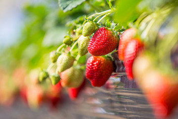 Fresh organic strawberries growing on the vine