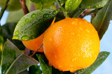 Ripe orange mandarin