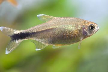 Aquarium fish. Silver Tipped Tetra.