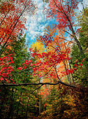 Looking Up in an Autumn Forest