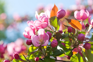 Blooming apple trees. Spring pink flowers. soft focus