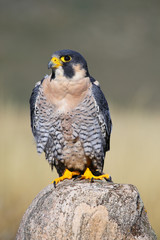 Wall Mural - Peregrine falcon sitting on a rock