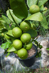 Lime plant with many fruits