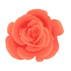 Single flower coral roses. Vector.