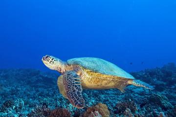 Turtle at Hawaii Coral Reef