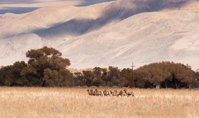 Male Bull Elk Leads Female Animal Brood Mates Livestock Owens