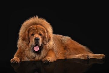 Dog. Tibetan mastiff on black background