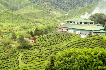Wall Mural - cameron highlands