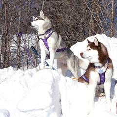 Two dogs Siberian Husky