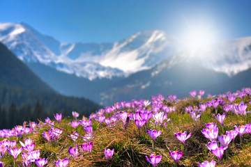 Mountain flowers on the background of the high peaks