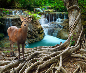 Printed roller blinds Waterfalls sambar deer standing beside bayan tree root in front of lime sto