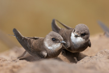 Sand Martins Wall mural
