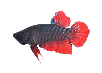Siamese fighting fish on white