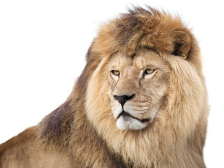 Fototapete - Watchful mighty lion