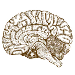engraving antique illustration of human brain