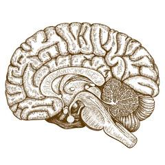 engraving antique illustration of human brain