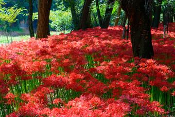 Red spider lily in Kinchakuda, Saitama, Japan