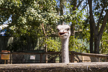 African ostrich in zoo