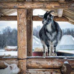 Goat on a farm in winter